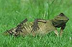 Lizard relaxing back by Yan Hidayat
