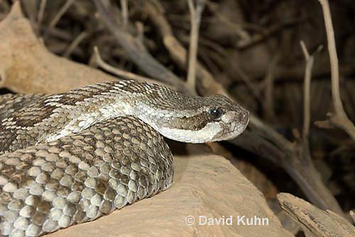 0419-1002  Southern Pacific Rattlesnake (Black Diamond Rattlesnake, Pacific Rattler), Southwest California, Crotalus oreganus helleri (syn. Crotalus viridis helleri)  © David Kuhn/Dwight Kuhn Photography.
