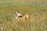 White-tailed deer and fawn, National Bison Range, Montana, USA