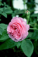 Rosa 'Louise Odier' (Bourbon Rose), pink roses