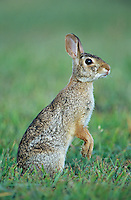 Eastern Cottontail, Sylvilagus floridanus, adult standing, Welder Wildlife Refuge, Sinton, Texas, USA, May 2005