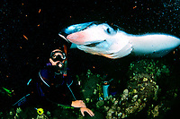 scuba diver and reef manta ray, Manta alfredi, feeding at night, Kona, Big Island, Hawaii, Pacific Ocean