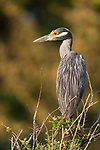 Brazoria County, Damon, Texas; a Yellow-crowned Night Heron standing on top of a bush alongside a creek in late afternoon sunlight