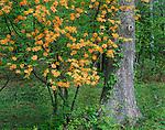 Blue Ridge Parkway, VA<br /> Flaming Azalea (Rhododendron calendulaceum) and White Oak (Quercus alba) in spring deciduous forest