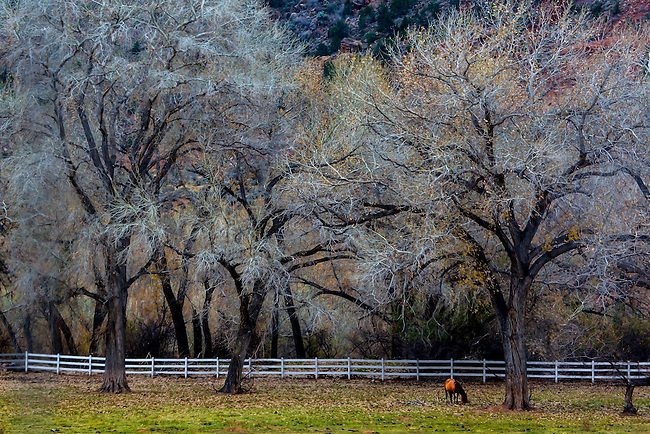 A horse grazes under some Cottonwood Trees on a farm in Southern Utah