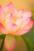 Beautiful captured image of a lotus flower