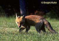 FX03-005z   Red Fox - several months old - Vulpes vulpes