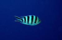 Humbug Swimming in the Blue, Tonga