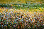 Wind-blown grass at Sandbar National Wildflife Area on Lake Champlain, Milton, VT, USA