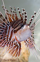 0130-1012  Antennata Lionfish (Broad-Banded Firefish, Spotfin Lionfish), Pterois antennata  © David Kuhn/Dwight Kuhn Photography