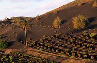 Europe/Espagne/Iles Canaries/Lanzarote : Paysage volcanique de la Geria - Vignes et palmiers
