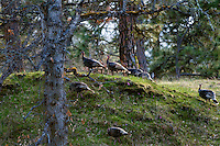 Flock of Wild Turkeys (Meleagris gallopavo) feeding in oak-pine forest.  Washington.  Spring.