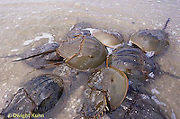 1Y47-174x  Horseshoe Crab - mating on beach at high spring tide -  Limulus polyphemus
