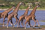 Four Maasai giraffe (Giraffa camelopardalis) running along the shores of Lake Ndutu in the Ngorongoro Conservation Area, Tanzania.