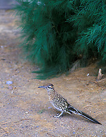 Road runner. Death Valley National Park, California