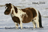Bob, ANIMALS, REALISTISCHE TIERE, ANIMALES REALISTICOS, horses, photos+++++,GBLA4380,#a#, EVERYDAY