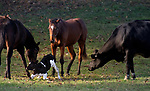 """Can we help moo?<br /> <br /> Pictured: The lost calf gets to it's feet and wonders off with mum.<br /> <br /> The adorable images were captured by professional equine photographer Sandy Sharkey in countryside near Ottowa, Canada.<br /> <br /> Sandy said, """"I was driving when I noticed three horses in a shady area way off in the distance. They caught my eye because they were all gathered around something on the ground. Through my telephoto lens, I could see the focus of their attention: a newborn baby calf. There were cows in the same field, but not close by and no obvious mother for this little calf.""""<br /> <br /> """"I watched as the horses gently licked and nudged the baby until he finally struggled to stand. The mother cow then appeared from behind some trees and began to bond with her hours-old calf.   The unfolding of this little story made my day""""<br /> <br /> Please byline: Sandy Sharkey/Solent News<br /> <br /> © Sandy Sharkey/Solent News & Photo Agency<br /> UK +44 (0) 2380 458800"""
