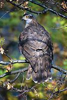 Habicht, Accipiter gentilis, northern goshawk, goshawk, L'Autour des palombes