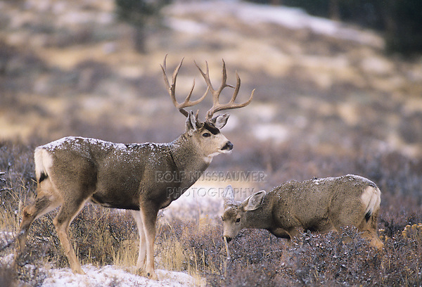 Mule Deer, Black-tailed Deer (Odocoileus hemionus), buck and doe after snowfall, Colorado, USA