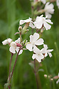 Silene latifolia (syn. Silene alba), mid May. Commonly known as White campion.
