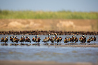 Flock of White-faced Whistling Ducks at Djoudj, north western Senegal