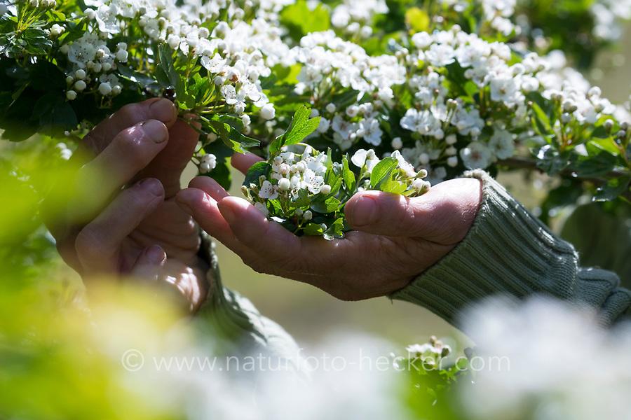 Ernte von Weißdorn-Blüten, Weißdornblüten, Weissdorn-Blüten, Weissdornblüten, Kräuter sammeln, Kräuterernte, Eingriffliger Weißdorn, Eingriffeliger Weißdorn, Weissdorn, Weiß-Dorn, Weiss-Dorn, Hagedorn, Crataegus monogyna, hawthorn, common hawthorn, oneseed hawthorn, single-seeded hawthorn, English Hawthorn, May, L'Aubépine monogyne, L'Aubépine à un style