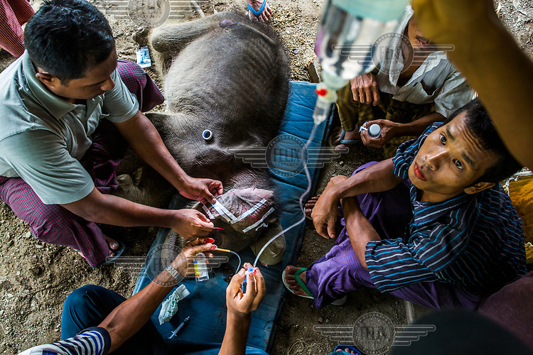 Mahouts and vets put the sick and dying orphaned elephant Mi Chaw on at drip in a last attempt to keep her alive at Thayatsan elephant camp.