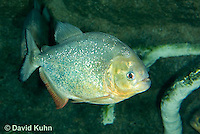 0319-1001  Red-bellied piranha, Pygocentrus nattereri  © David Kuhn/Dwight Kuhn Photography.
