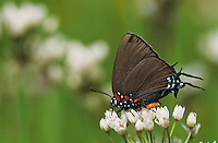 Great Purple Hairstreak, Atlides halesus, male on False Garlic (Nothoscordum bivalve) , Enchanted Rock State Natural Area, Texas, USA