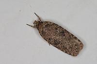 Flachleibmotte, Flachleib-Motte, Agonopterix spec., Agonopterix heracliana oder Agonopterix ciliella, Common Flat-body, Elachistidae, Oecophoridae, Flachleibmotten