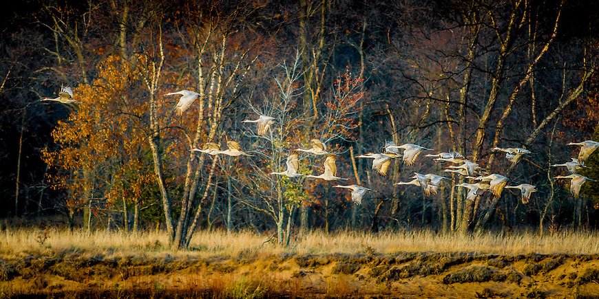 """Selected for the front cover of """"Midwest Prairie Review"""" magazine in April, 2014.<br /> <br /> This image of Sandhill Cranes taking flight was captured on the Wisconsin River just a few yards from Aldo Leopold's famous """"Shack."""""""