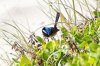 Superb Fairy-Wren, Tomaree NP, NSW,  Australia