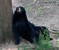 1021-1005  American Black Bear Resting on its Back Against a Tree, Ursus americanus  © David Kuhn/Dwight Kuhn Photography