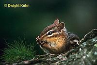 MA02-009z  Eastern Chipmunk - washing face - Tamias striatus
