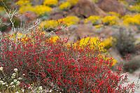 Beloperone californica or Justicia californica -Chuparosa; red flowering shrub California native plant - Sonoran Desert at Anza Borrego California State Park