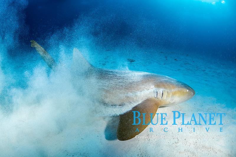 nurse shark, Ginglymostoma cirratum, South Bimini, Bimini, The Bahamas, Atlantic Ocean