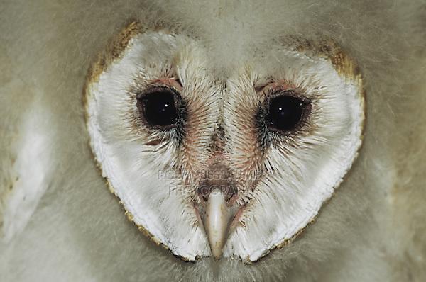 Barn Owl (Tyto alba),face of young, Starr County, Rio Grande Valley, Texas, USA