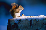A white eye ring and a distinctive chirping identify one of the most recognizable, as well as adaptable, species of wildlife in North America, the red squirrel. Grand Teton National Park, Wyoming