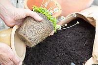 Gänseblümchen wird umgepflanzt, Umpflanzen, Topf, Wurzelballen, Umtopfen, Blumentopf, Kübel, Maßliebchen, Bellis perennis, English Daisy, flower pot, garden pottery, plant pot, Pâquerette