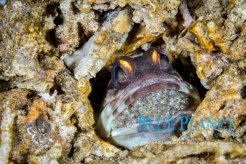 gold-specs jawfish, or yellow barred jawfish, Opistognathus randalli, mouthbrooding eggs  in its burrow, in Dauin, Philippines, Pacific Ocean