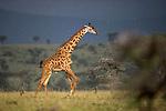 Male Masai Giraffes (Giraffa camelopardalis) running in rain storm. Ol Kinyei Conservancy, Masai Mara Game Reserve, Kenya.