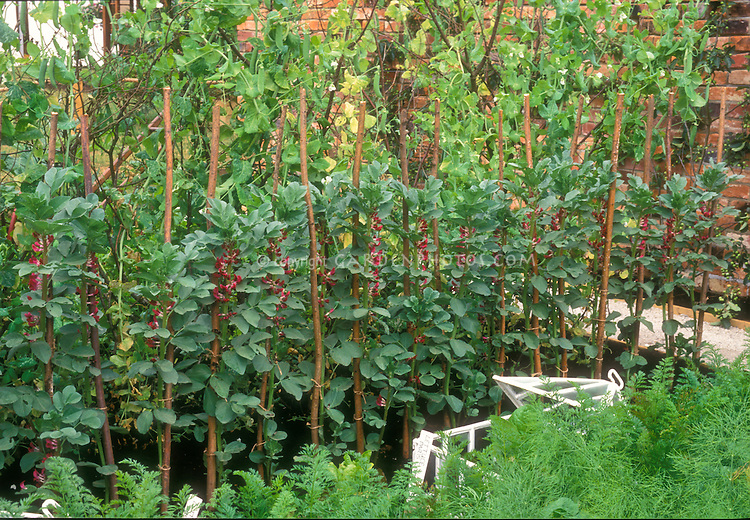 Broad beans in flower on staked poles with carrots in vegetable garden