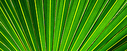The radiant lines of a backlit palmetto in Northeast Florida.