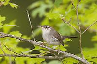 Bewick's Wren, Thryomanes bewickii, adult in Texas Oak (Quercus buckleyi), Uvalde County, Hill Country, Texas, USA, April 2006