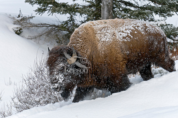 American Bison bull walking through snow.  Yellowstone National Park, Wyoming.  Winter.