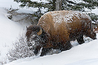 American Bison bull walking through snow.  Yellowstone National Park, Wyoming.  Winter.