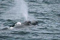 Sei Whale Blowing at the surface
