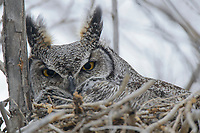 Adult female Great Horned Owl (Bubo virginianus) incubating eggs on a nest. Idaho, USA. April.
