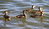 Mallard ducklings enjoy the sunshine on the lake at Priory Park, Bedford UK. May 20th 2020  <br /> <br /> Photo by Keith Mayhew