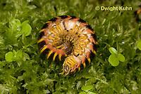 1Y15-506z Millipede rolled into protective ball, Apheloria virginiensis corrugata,  SW Virginia